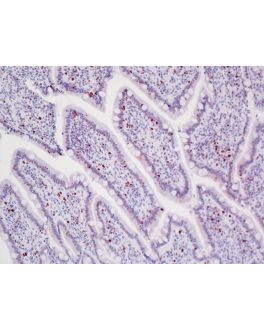 Dog intestine stained with rabbit antibody against Ki67 and detected with ImmPRESS VR HRP Anti-Rabbit IgG and Vector NovaRED Substrate.  Counterstained with Hematoxylin QS.