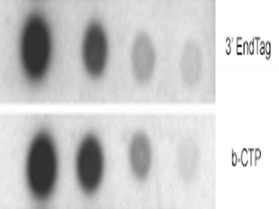 Dot blot hybridization comparing the sensitivity of biotinylated oligonucleotides.  The probes were labeled with either the 3'EndTag Kit protocol or a terminal transferase reaction with b-CTP.  The dots were detected with the UltraSNAP Detection Kit.
