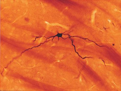 Intracellular labeling of neurons with NEUROBIOTIN Tracer.