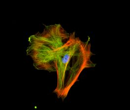 Mouse embryonic fibroblast stained with mouse anti-tubulin followed by fluorescein horse anti-mouse IgG and mounted in VECTASHIELD HardSet Mounting Medium with DAPI and TRITC-Phalloidin.