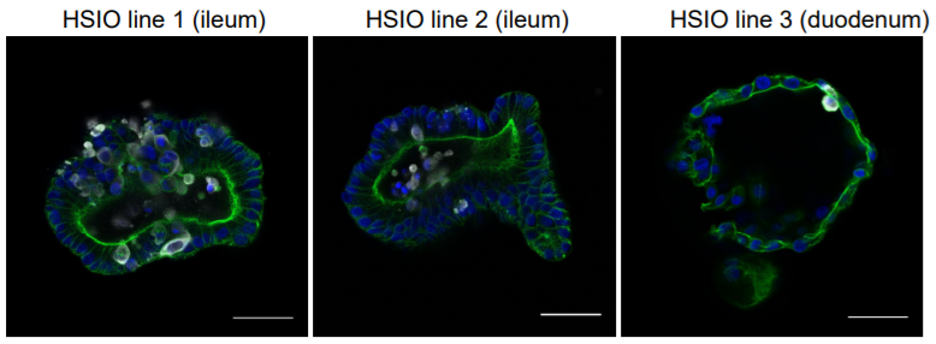 IHC of Tissues from SARS-CoV-2-Infected Ferrets