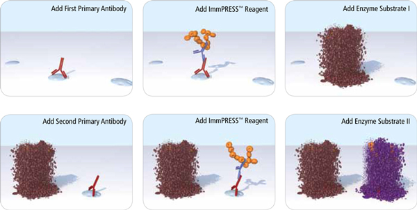 ImmPRESS Reagents in Double Labeling