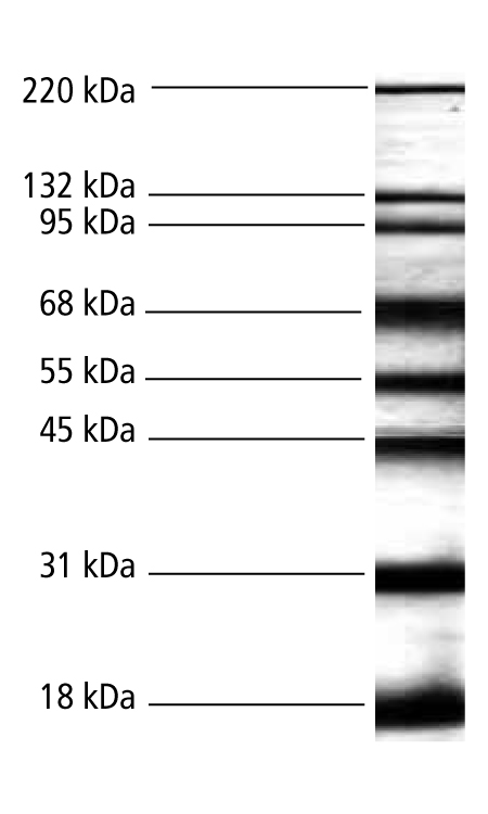 Biotinylated Protein MW Markers